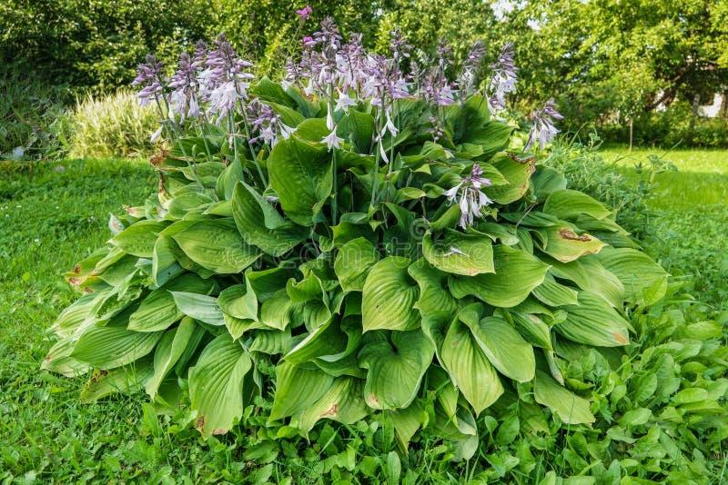 Hosta lat. Hosta in garden. Hosta - genus of perennial herbaceous plants of the family Green stock photo