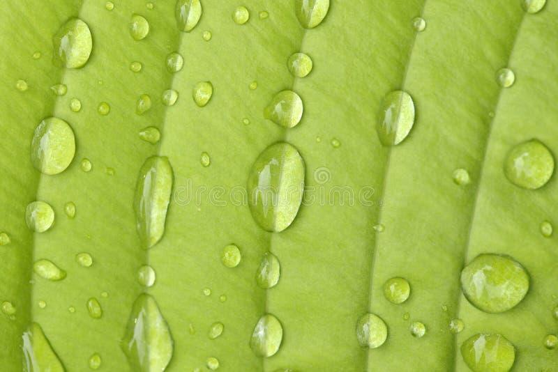 Download Hosta Leaf Stock Photo - Image: 36677700