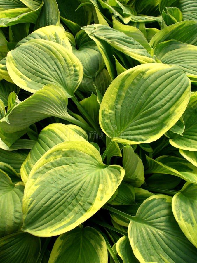 Hosta leaves stock image