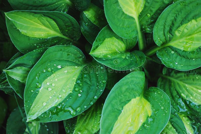 Hosta leaves close up in summer garden. Plants for shady places. In landscape design stock photos