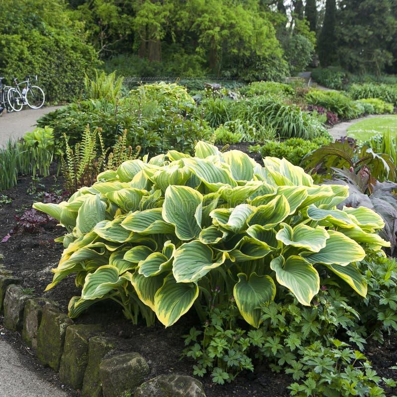Hosta oder Funkia in den gelben und grünen Farben auf dem Blumenbeet lizenzfreie stockfotos