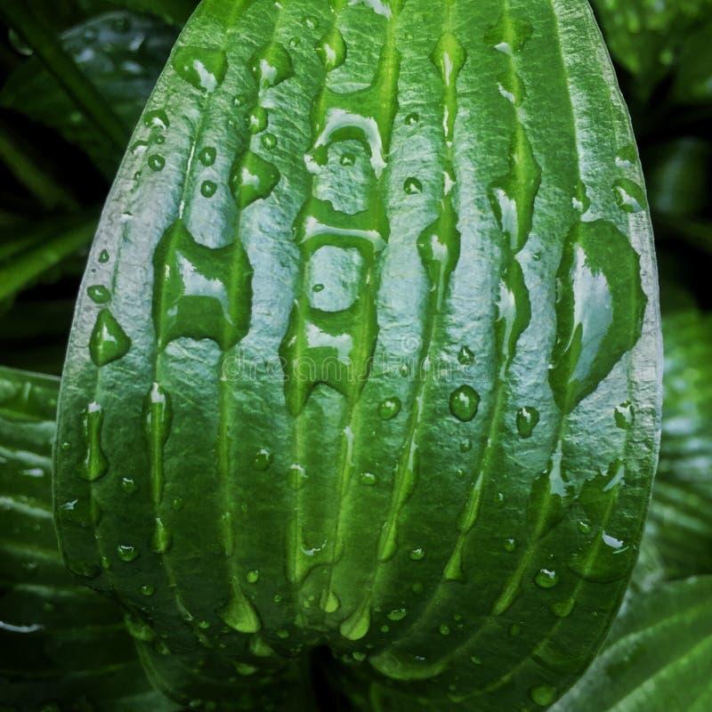 Hostaen lämnar bakgrund med regndroppar Ljus ny grön färg och skuggor Natur efter regn arkivbild