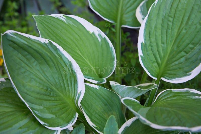 Hostapatriotväxt i trädgården Gul och grön sidabakgrund för Closeup fotografering för bildbyråer