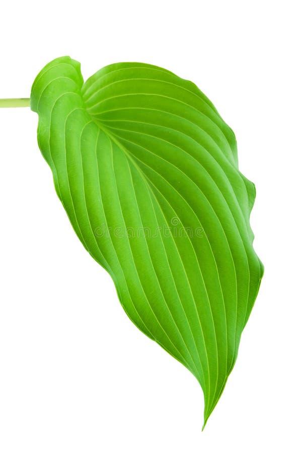 Download Hostas Leaf stock image. Image of leaf, vibrant, green - 9984069