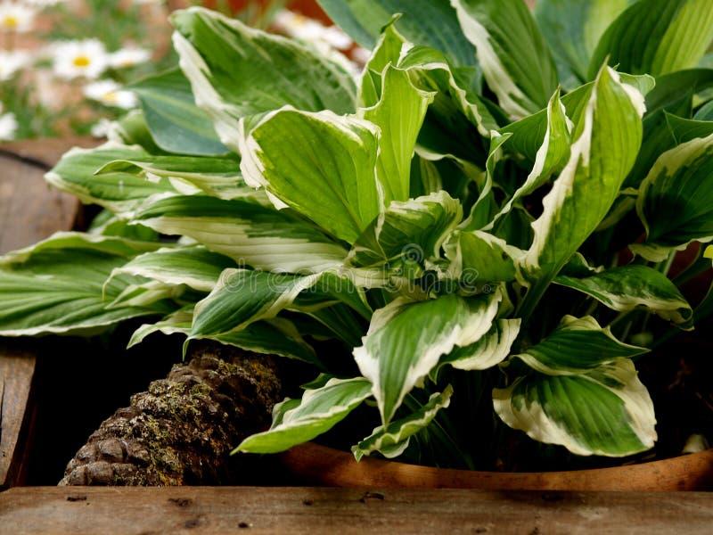 Hostas liście w drewnianym plantatorze obrazy royalty free
