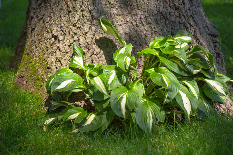 Hostas Plant stock photos