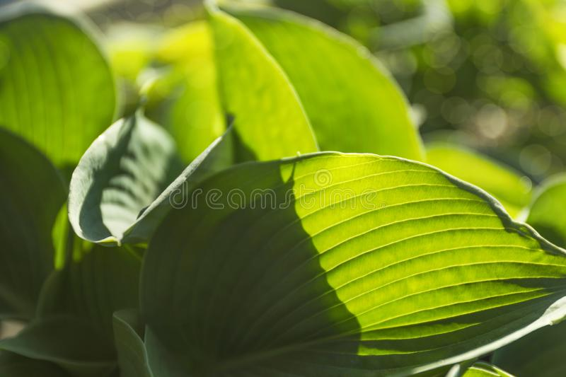 Hosts green leaves. Closeup view royalty free stock images