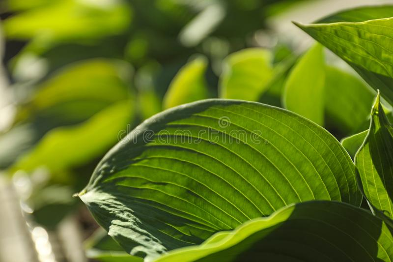 Hosts green leaves. Closeup view royalty free stock photo