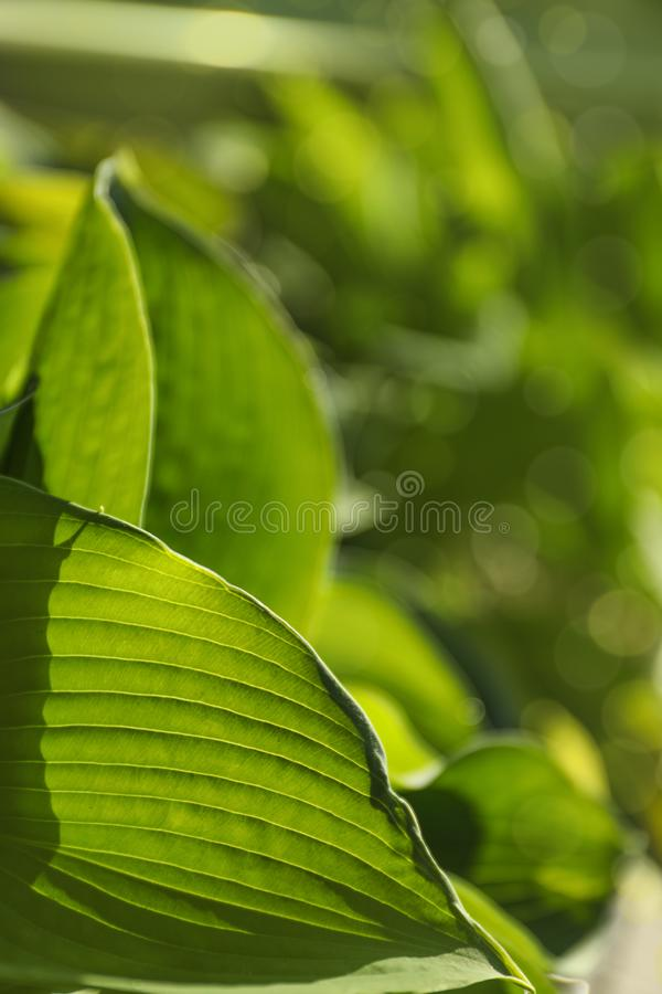 Hosts green leaves. On blurred background, closeup stock photography