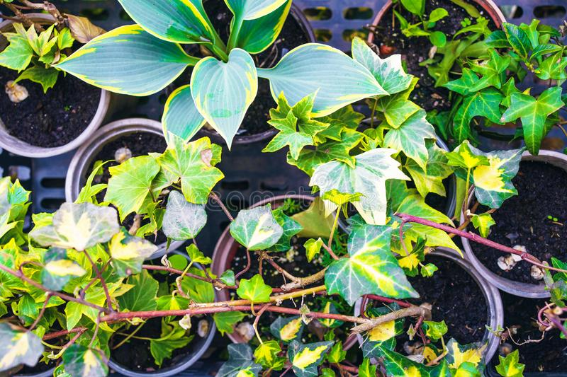 Hosts and ivy planting in backyard. Close up royalty free stock photography