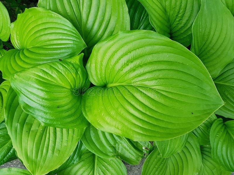 Hosts leaf plates in garden. Vein, venation, green, greenery, cottage, countryside, landscape, design, flower, bed, gardening, plants, leaf, botany, botanical royalty free stock image