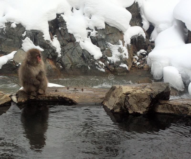 Hot bath for snow monkeys in Jigokudani Monkey Park in Nagano Japan. Jigokudani Monkey Park in Nagano Japan, is the only place in the wild where you can view the royalty free stock image