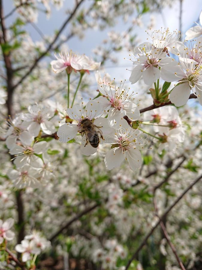 Hot beginning of May. Under Kazan bloomed gardens. Bumblebees and bees willingly collect nectar. Branch, blossom. stock photo