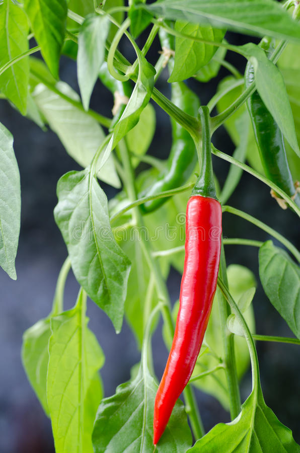 Hot chilli plant. Red and green hot chilli on a plant stock images