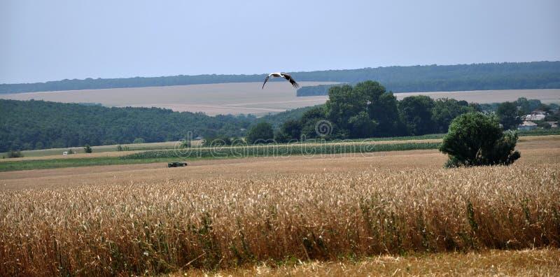 Hot Harvest time_14. Kolyndyany - Chortkiv - Ukraine - July 9, 2012. Weekdays hot harvest seasons in the private agricultural enterprise in the village stock photo