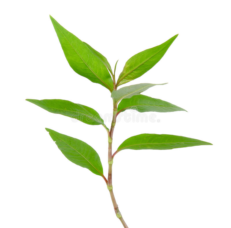 Hot mint, Vietnamese mint isolated on white background stock photo