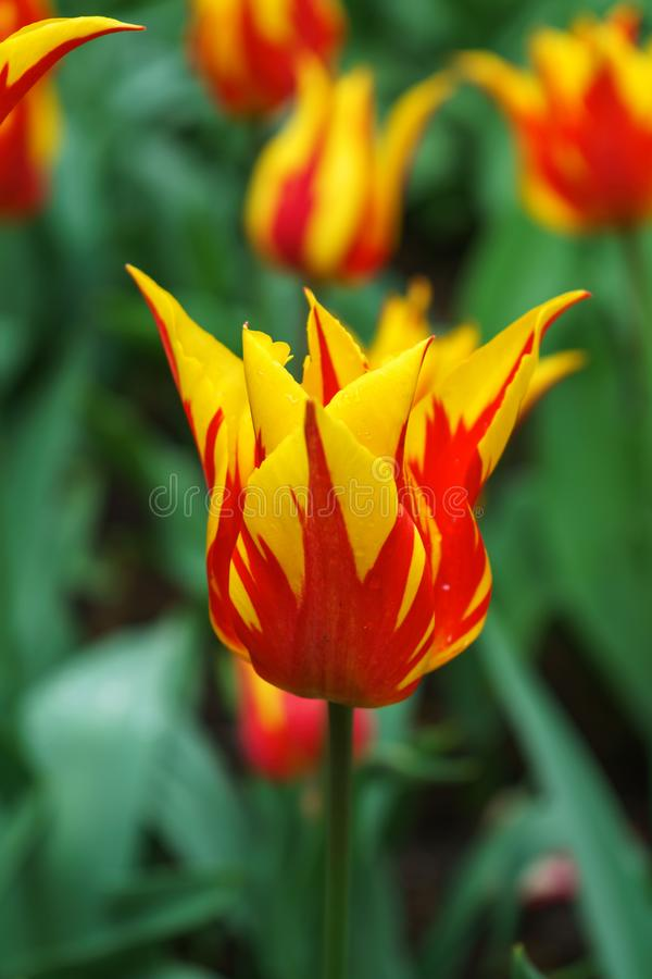 Hot orange and red tulip flowers with pointy petals in spring garden, park.  stock photography