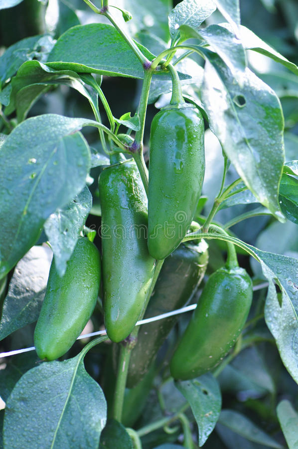 Free Hot Pepper Farm Royalty Free Stock Photography - 26622097