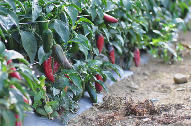 Download Hot Pepper Farm stock image. Image of green, health, farm - 26622145