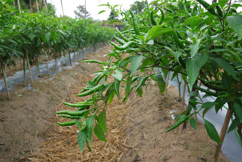 Hot pepper field. In green stage during fruiting stock photography