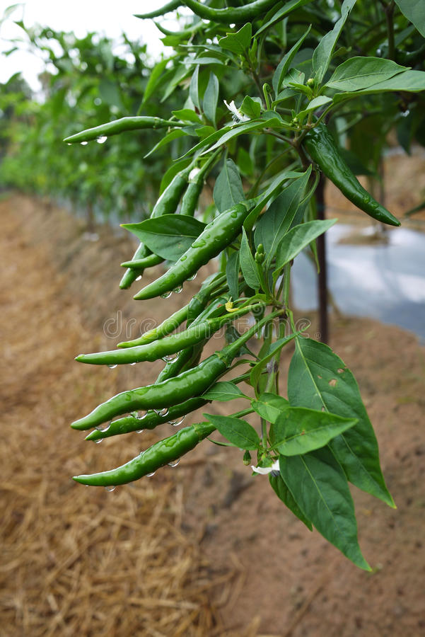 Hot pepper in green fruit color at a farm. Green hot pepper fruit hanging on their plants stock image