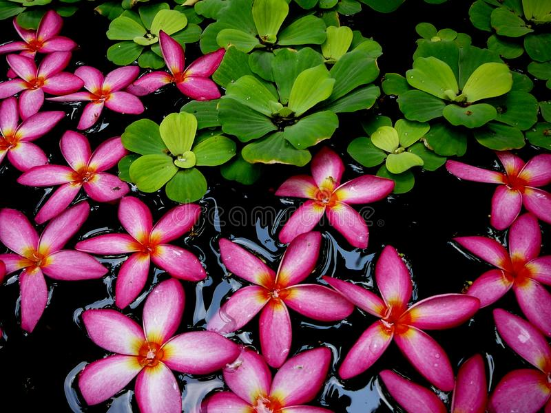 Hot Pink Flowers Floating in Water. With green leaves. Picture taken in Bangkok, Thailand royalty free stock image