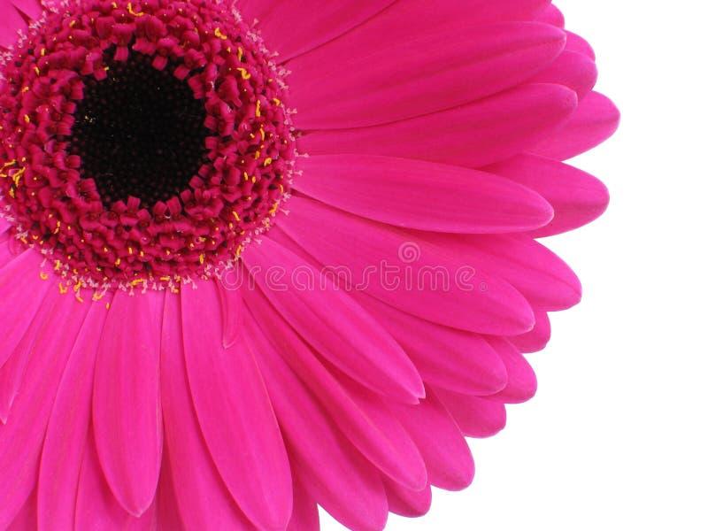 Hot Pink Gerbera royalty free stock images