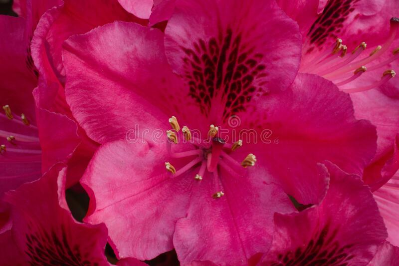 Hot Pink Rhododendron stock images