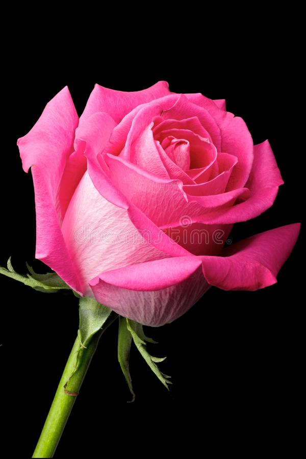 Free Hot Pink Rose On Black Background Stock Images - 23436094