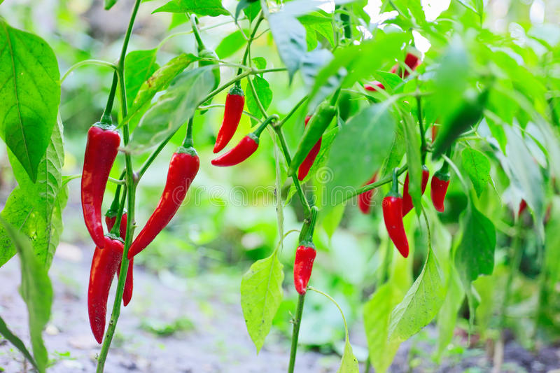 Download Hot Red Chilli Pepper Husks Growing Stock Image - Image: 28109795