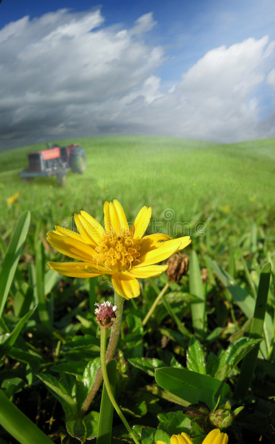 A hot summer day. A daisey is focused on in a hot summer field with a tractor in the background stock photography