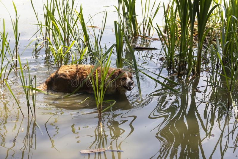 Dog enjoys the cool water of the lake on a hot summer day stock photo
