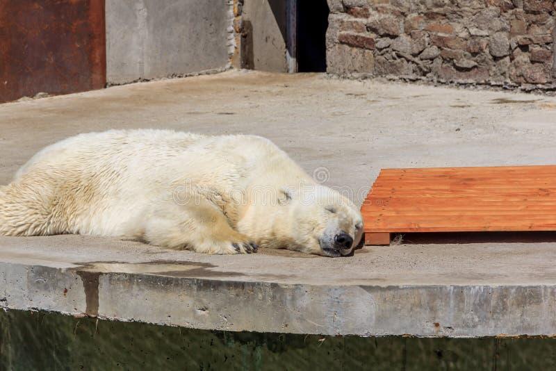 Polar bear in the zoo, polar bear in captivity. On a hot summer day, a polar bear sits in captivity, at the zoo, Russia royalty free stock photos