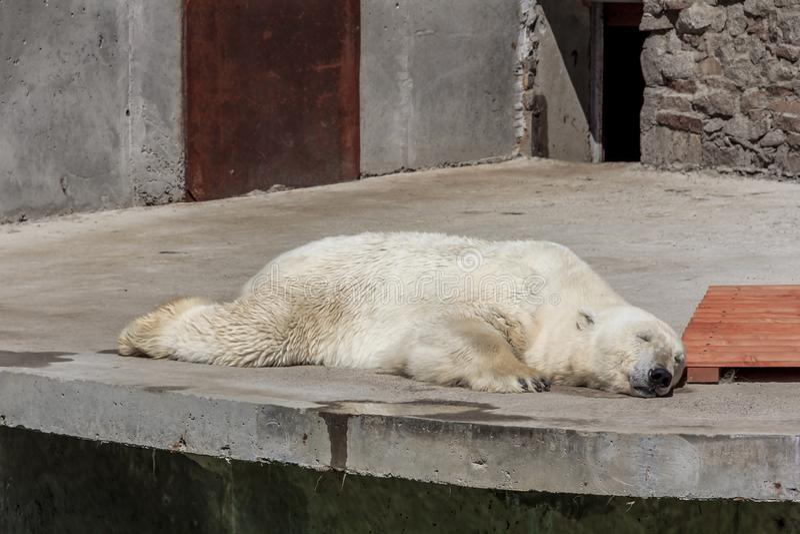 Polar bear in the zoo, polar bear in captivity. On a hot summer day, a polar bear sits in captivity, at the zoo, Russia stock photo