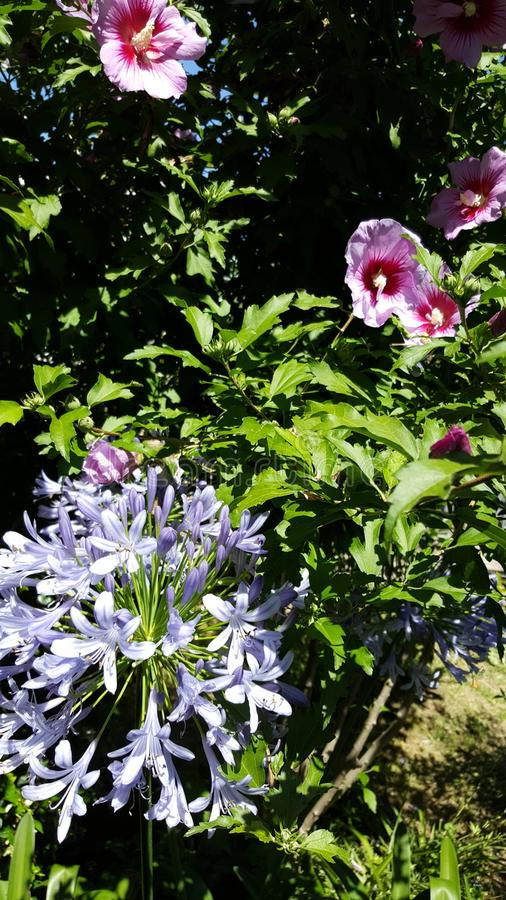 Violet Hibiscus summer garden stock photos