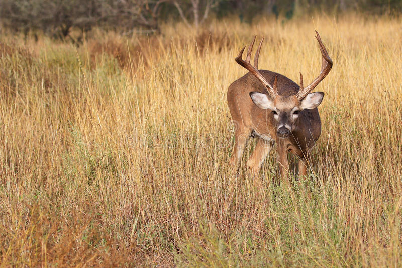 Hot on the trail. Whitetail buck Hot on the trail of doe royalty free stock image