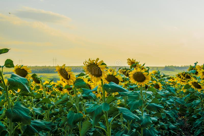 Hot and warm colors and shades of beautiful landscapes of Russia in the Rostov region. Local fields of blooming yellow sunflowers, stock images