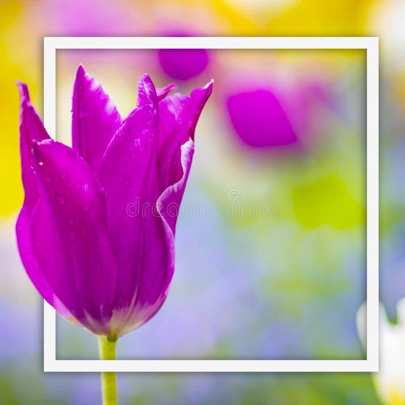 Hoto ascendente cercano del tulipán violeta rosado Es fondo hermoso de la naturaleza con la flor y el fondo borroso Hay una casil imagenes de archivo