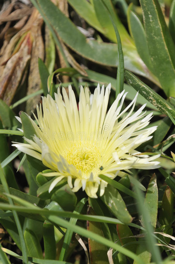 Download Hottentot Fig stock photo. Image of introduced, rock - 25734412