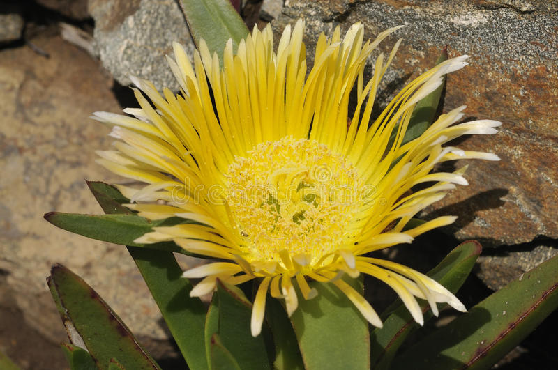 Hottentot Fig. Carpobrotus edulis On cliffs at The Lizard royalty free stock photography
