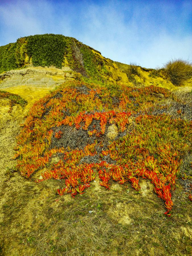 Hottentot Fig - Alien plants infesting English cliff face stock photos