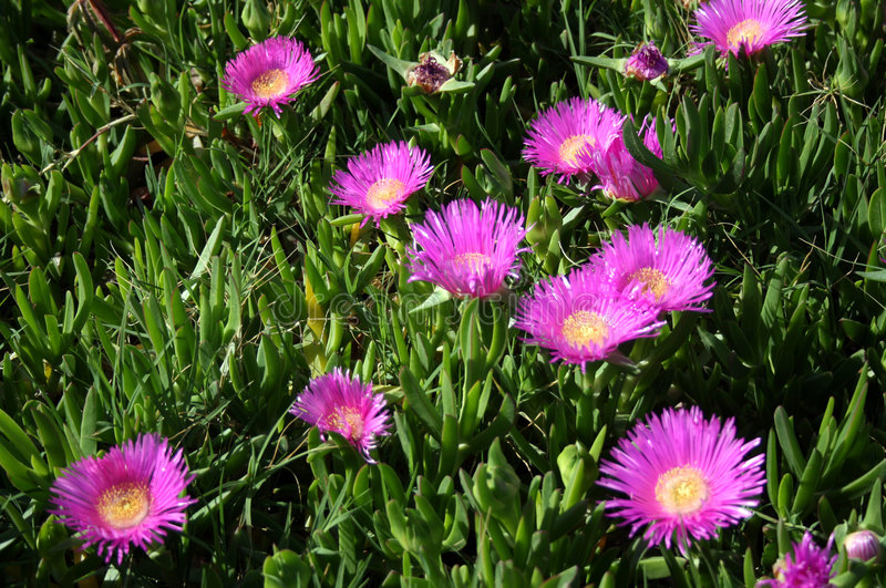 Hottentot Fig (Carpobrotus). Mat-like succulent perennial with trailing stem and brilliant magenta-pink flowers stock image