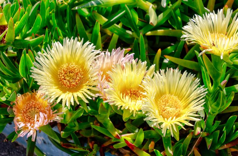 Hottentot Fig & x28;Carpobrotus edulis& x29;. Also known as Ice plant, highway ice plant, sour fig or pigface.  royalty free stock photography