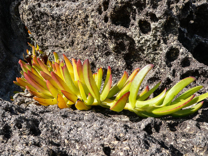 Hottentot Fig. Carpobrotus edulis. Branch with colored leaves of Hottentot Fig on volcanic rock royalty free stock photos