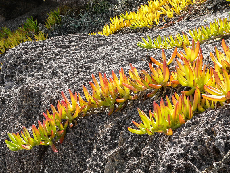 Hottentot Fig. Carpobrotus edulis. Branches with colored leaves of Hottentot Fig on volcanic rock royalty free stock photo