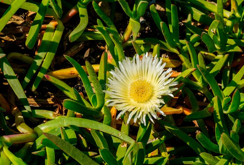 Hottentot-Fig. Close up of a single Hottentot-Fig in full bloom, Provence France stock images