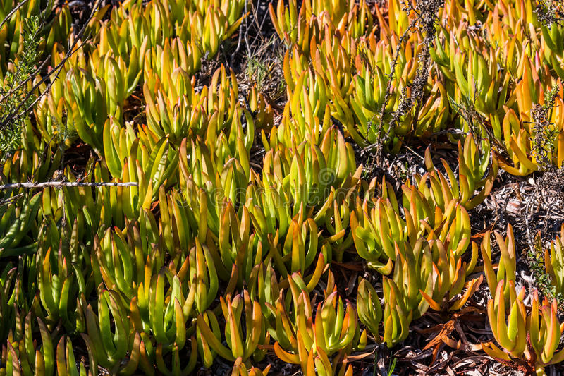 Hottentot Fig Ice Plants in Southern California. Carpobrotus edulis (Hottentot Fig) ice plants growing in Southern California stock photos