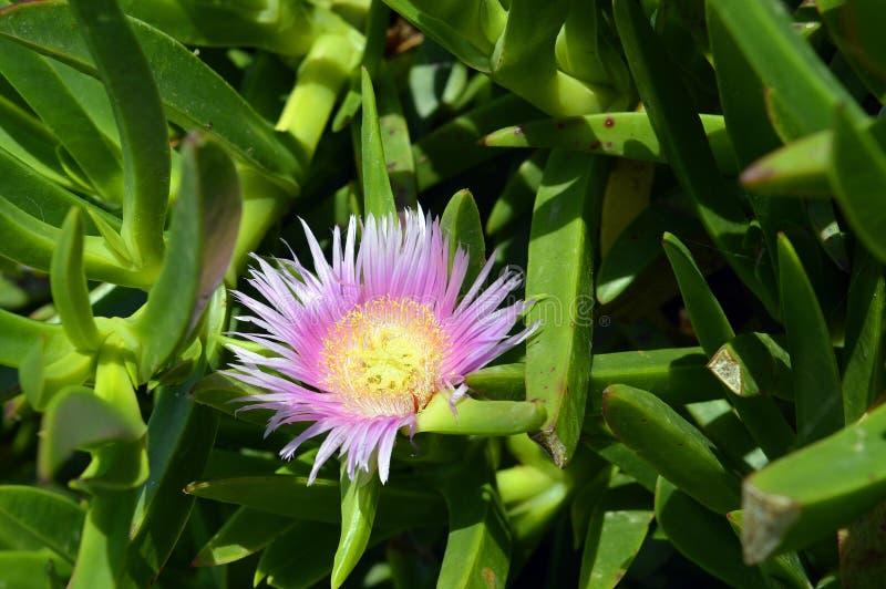 Hottentot Fig Latin name Carpobrotus edulis. Magenta Pink Hottentot Fig flower in Cyprus royalty free stock images