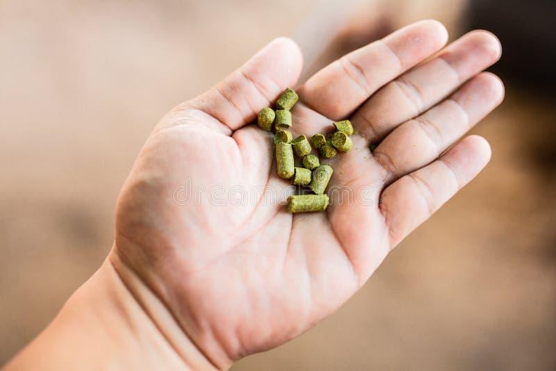 Houblon de granules sur ma main pour le brassage à la maison, bière thaïlandaise de métier images libres de droits