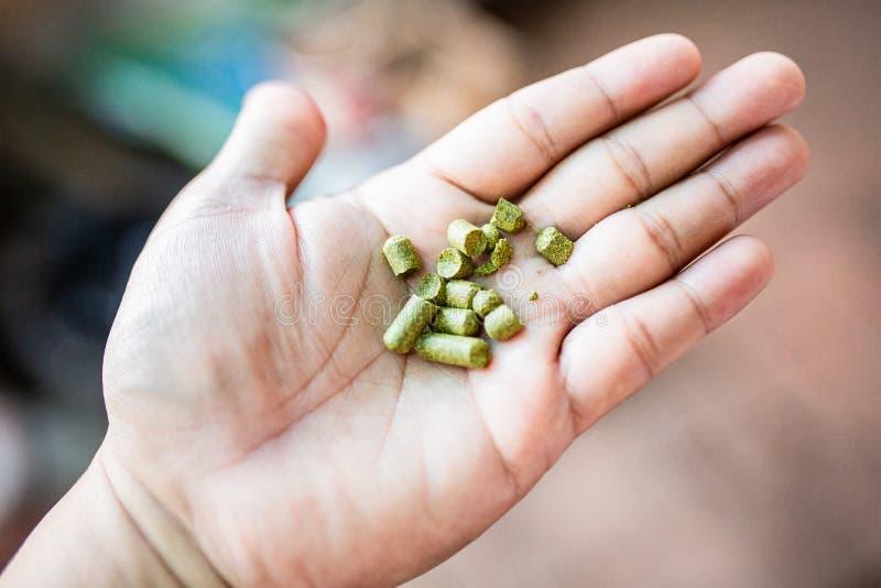 Houblon de granules sur ma main pour le brassage à la maison, bière thaïlandaise de métier images stock